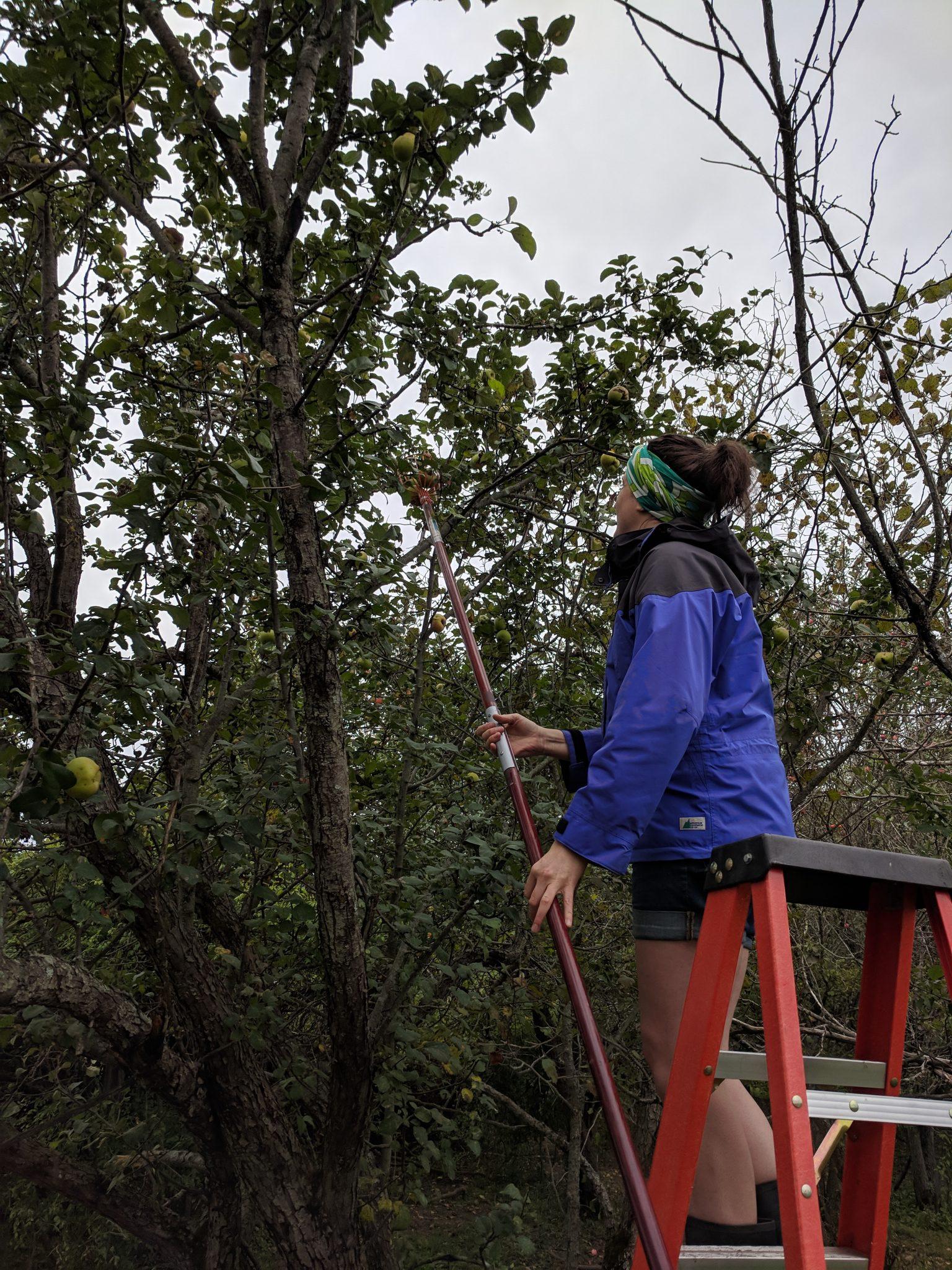 cider apple picking