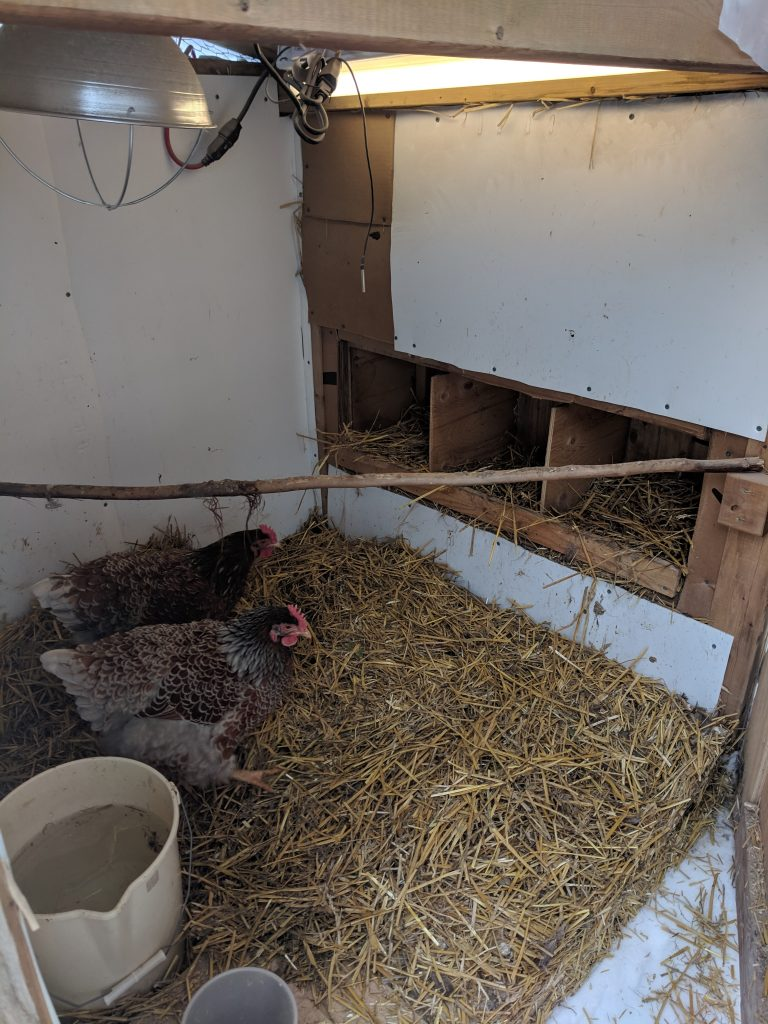 chickens in winterized coop