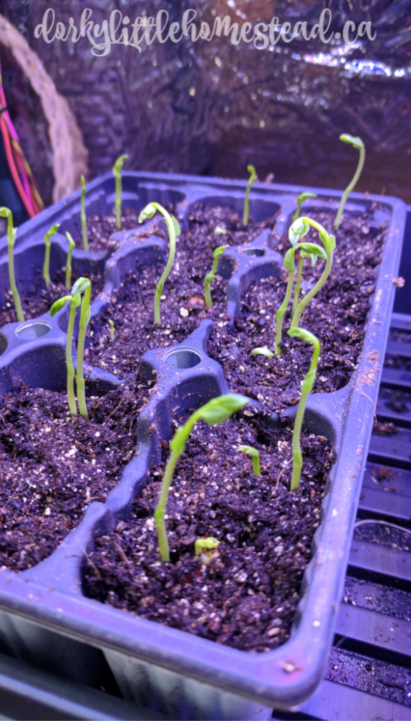 Peas sprouting