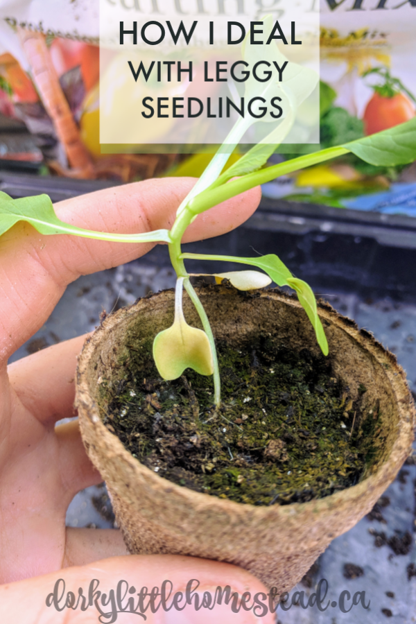 Leggy seedlings are a reality of seed starting, but it's not an unfixable problem!