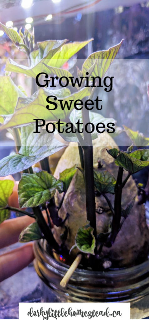 Growing sweet potatoes has been a fun thing to do and in this post I'll share a How-To so you can try this at home.