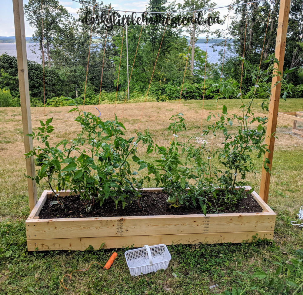 2018 Tomato plants on their trellis