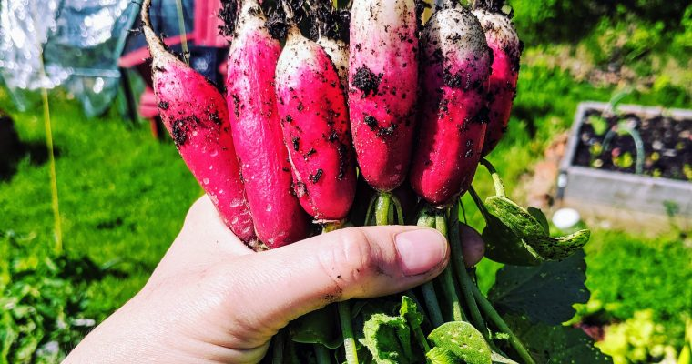 Radishes: Growing, Storing & Eating them.