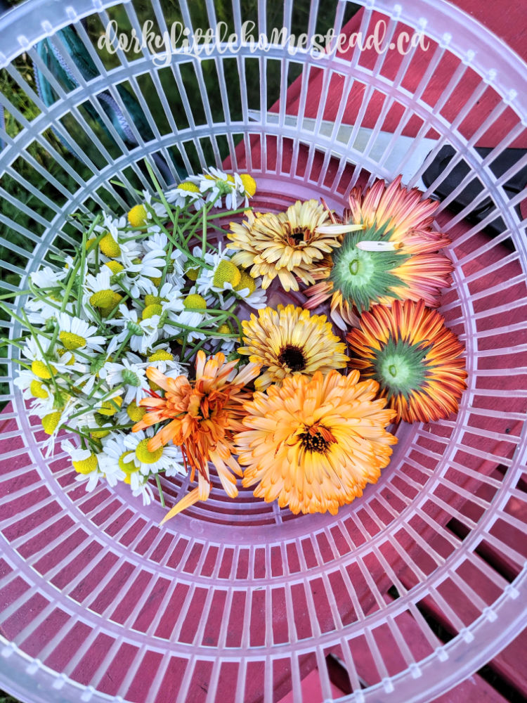 Chamomile is one of the two edible, medicinal flowers that I grow in my garden. The other is Calendula.