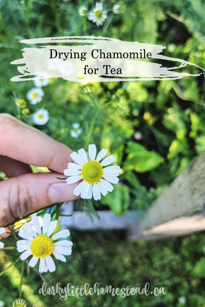 Chamomile tea is the quintessential relaxation drink. And it's super easy to dry your own to have a good supply of this lovely tea.