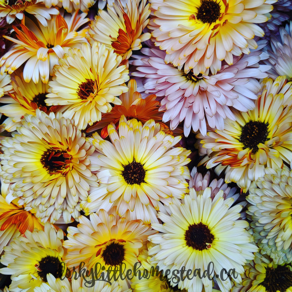 Calendula Flowers are bright and beautiful with a light lemon taste.