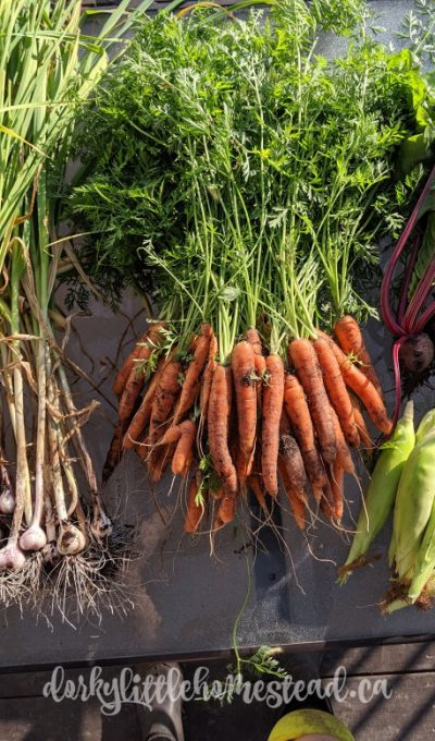 Storing Carrots the Easy Way!
