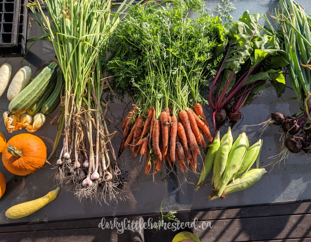 Getting the harvest in and preparing for storing carrots