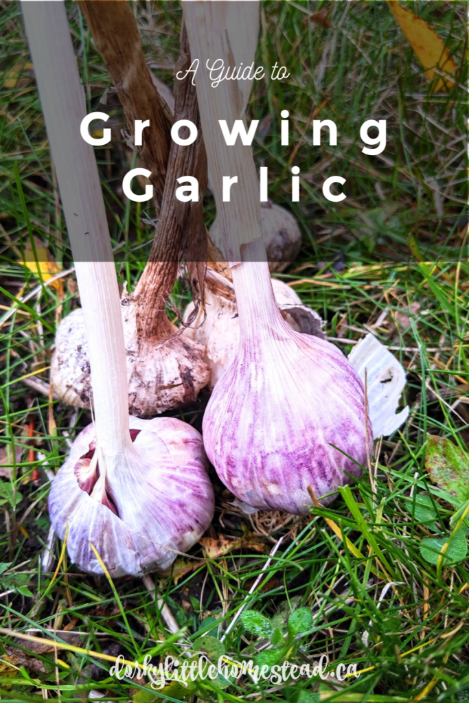All it takes is time and patience, and you can grow an abundance of garlic in your own backyard. Garlic is planted in the fall and harvested in late summer or early fall of the next year.