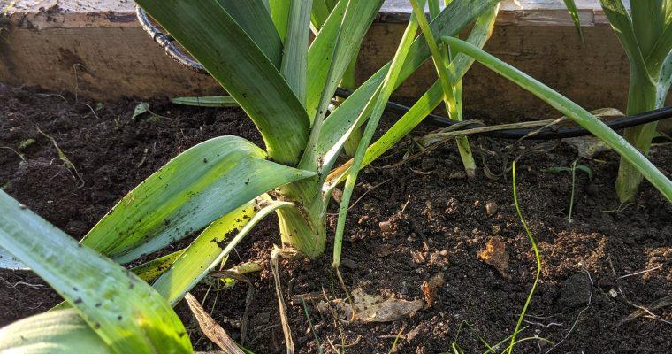 Harvesting & Storing Leeks