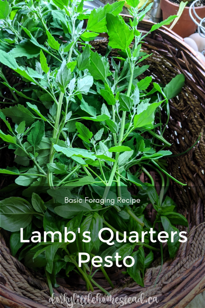 Lamb's quarters pesto is a great introduction to foraging. And means that you can feel good about some of your weeding.