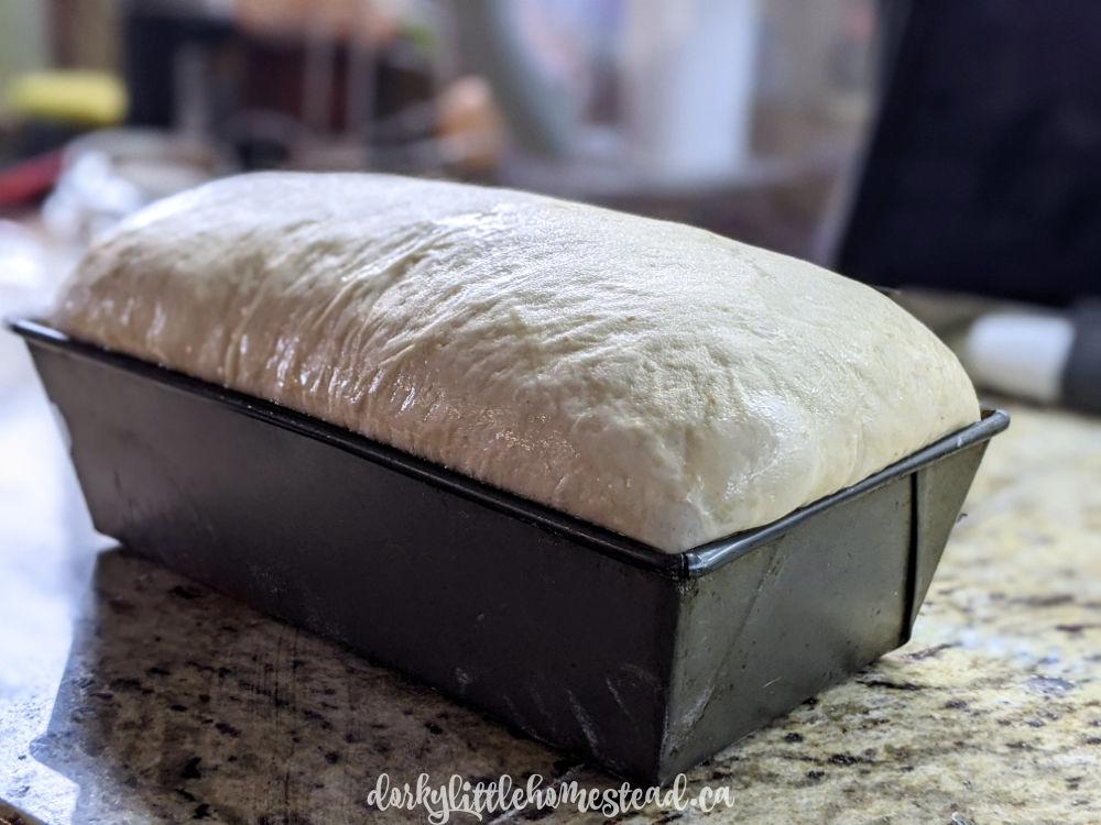 sourdough sandwich Bread risen!