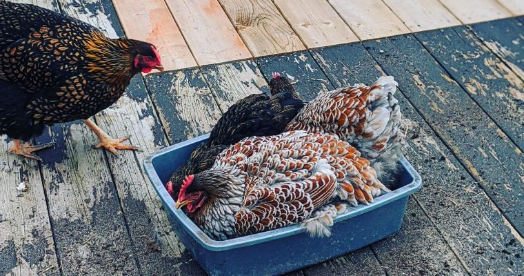 DIY Winter Dust Bath for Chickens
